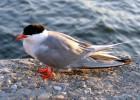 Крачка — общительная морская птица
