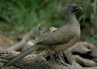 Кракс — птица с камнями в желудке