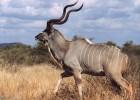 Куду — осторожная антилопа
