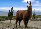 Лама — стадное животное из Южной Америки