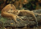 Леопард — пятнистая кошка-верхолаз