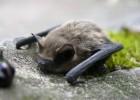 Летучая мышь — пушистый ночной летун