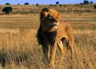 Львиный прайд имени Хелен