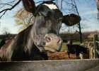 Лечение молочной лихорадки у коров