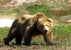 Медведь — тяжеловес с сильным ударом
