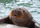 Морж — арктическое млекопитающее с длинными бивнями