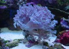 Морская рука — необходимый коралл