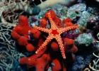 Морская звезда — умеет заново отращивать лучи