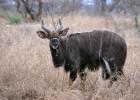 Ньяла — косматая антилопа