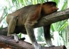 Носатая обезьяна — умный переход