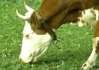 Паразиты у коров
