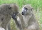 Павиан — большая африканская обезьяна