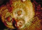 Потто — пугливый примат с необычным способом защиты