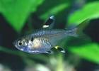 Пристелла — маленькая прозрачная рыбка