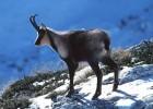 Серна — горная антилопа