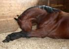 Столбняк у лошади