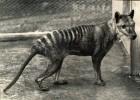 Сумчатый волк — тасманский волк-тигр