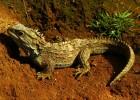 Туатара — трехглазый динозавр