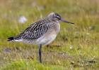 Веретенник — птица, которая считалась когда-то вкусной едой