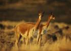 Викунья — резвый бегун с изумительной шерстью