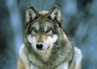 Волк — величественный родственник собаки