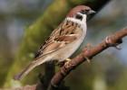 Воробей — одно имя для разных птиц