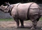 Яванский носорог. Нужна ваша помощь