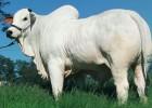 Зебу — бык с чувствительной кожей