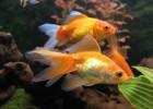 Как выбрать золотую рыбку