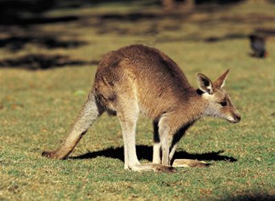 Валлабі — невеликий родич кенгуру - цікаве про тварин