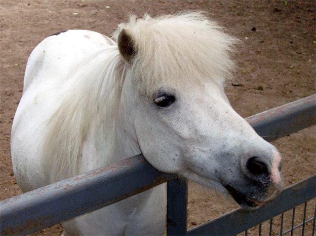 Вибираємо поні - цікаве про тварин