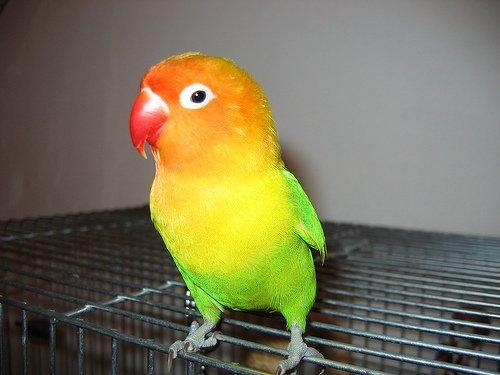 Як вибрати папугу? - цікаве про тварин