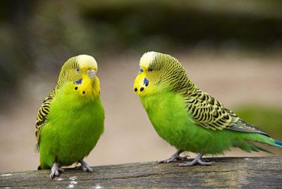 Хвилястий папужка — любитель поговорити - цікаве про тварин
