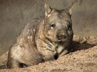 Вомбат — запасливі сумчаста, яке любить копати - цікаве про тварин