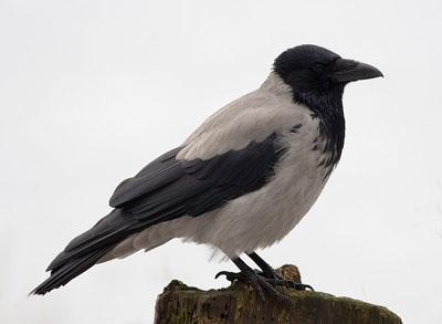 Ворона — не вибагливий їдець - цікаве про тварин