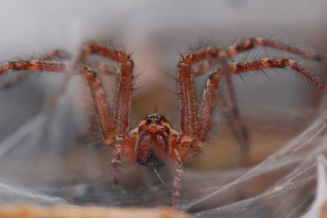 Воронковим павук — міні-вбивця - цікаве про тварин