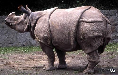 Яванський носоріг. Потрібна ваша допомога - цікаве про тварин