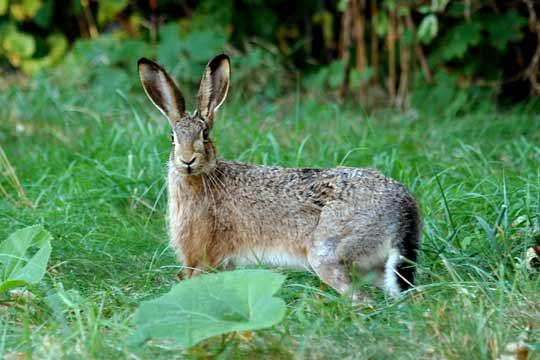 Заєць — швидкість у всьому - цікаве про тварин