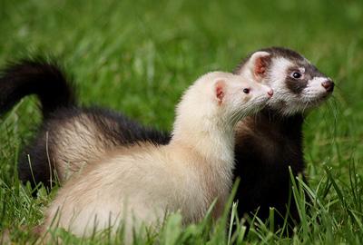 Догляд за тхором - цікаве про тварин
