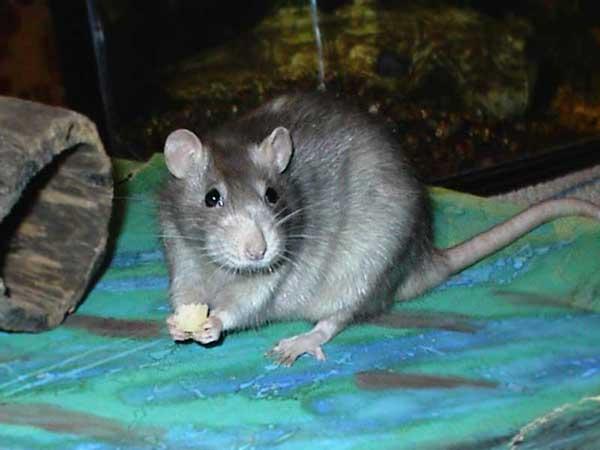Здоров'я щури - цікаве про тварин