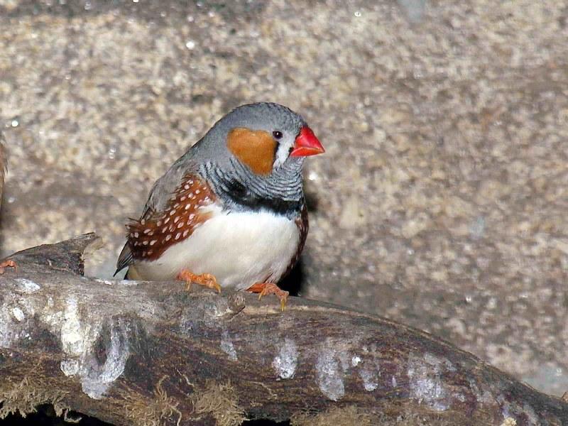 Зебровая амадина — птах, який п'є на льоту - цікаве про тварин