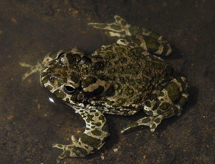 Зелена жаба - цікаве про тварин