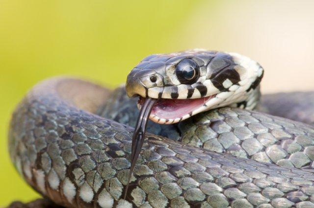 Змії — страх без причини? - цікаве про тварин