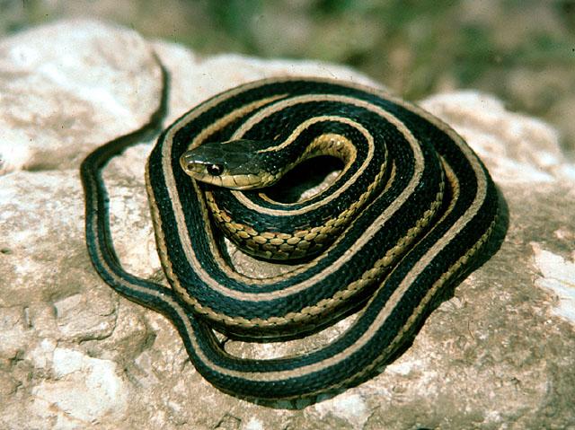 Змія подвязочная — любитель компанії - цікаве про тварин