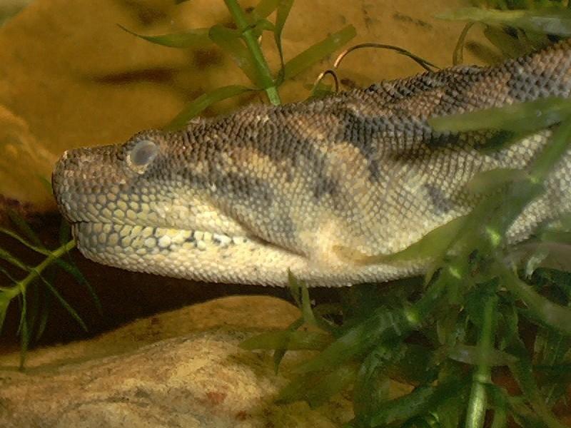 Змія яванська бородавчаста — підводний житель - цікаве про тварин