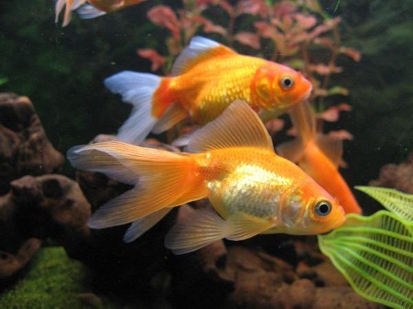 Запускаємо золоту рибку в акваріум - цікаве про тварин