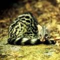 Циветта — пахучий мангуст