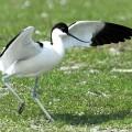 Шилоклювка — грациозная птица с чувствительным клювом