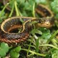 Уж — безобидная змея