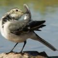 Трясогузка — птица с подвижным хвостом